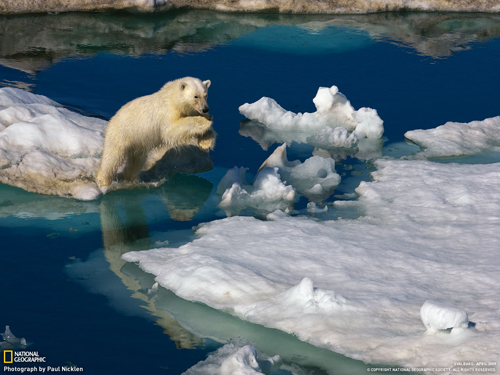 oso-polar-saltando-national-geographic