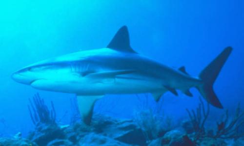 Tiburón Coralino