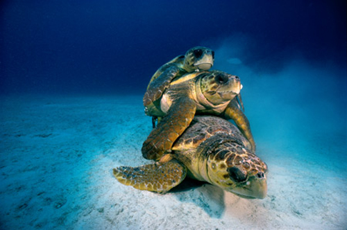 david-doubilet-tortugas-marinas