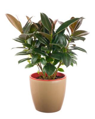 Ficus de hoja ancha
