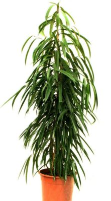 Ficus macleilandii